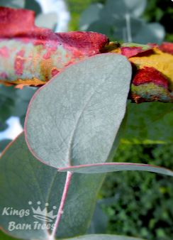 Eucalyptus cinerea - Argyle Apple, Silver Dollar Gum