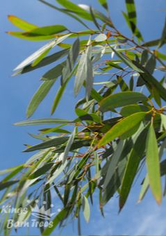Eucalyptus mitchelliana - Mount Buffalo Gum