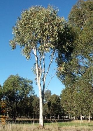 Mature eucalyptus trees