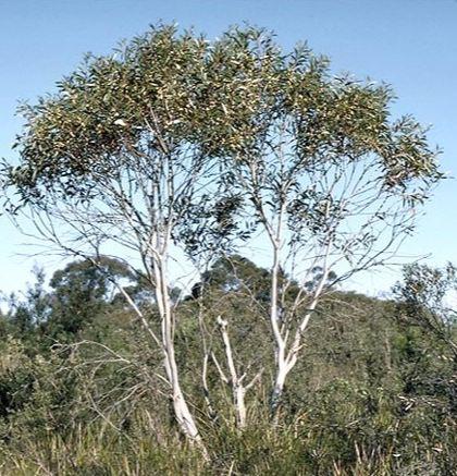 Kings barn ltd eucalyptus gregsoniana wolgan snow gum for Garden design under gum trees